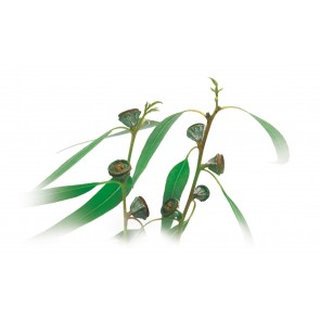 Medisana Aroma evkaliptus 10ml